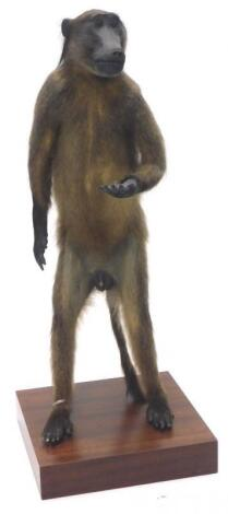 A 20thC taxidermy study of a standing baboon