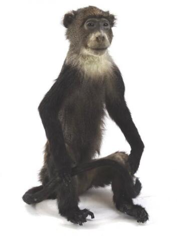 A taxidermy figure of an African Blue monkey