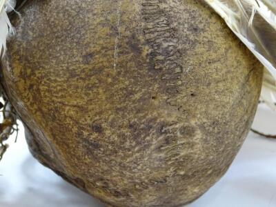 An Asmat tribal skull - 5