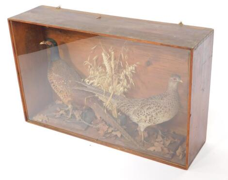 Taxidermy; A pair of cock and hen pheasants, in a stained pine case with perspex front, 53.5cm high, 86.5cm wide, 23cm deep.