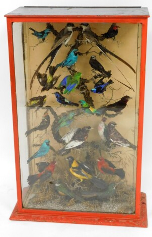 A Victorian taxidermied display of various tropical and UK birds, on perched branch in a painted red case, 90cm high, 61cm wide, 28cm deep.