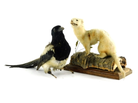 A mid 20thC taxidermied figure of a stoat, on a naturalistic setting and wooden plinth base, 25cm high, and a magpie. (2)